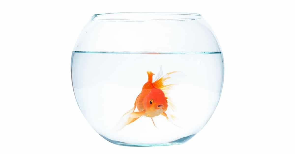 A goldfish in a fish bowl.